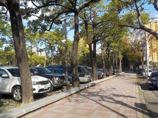 維護自行車道安全 中市移除國美館前黑板樹並補植合適樹種