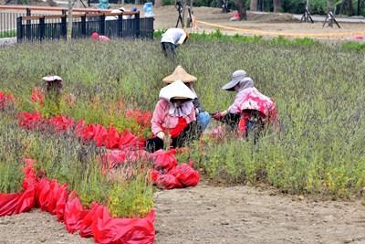 大安水蓑衣再現花博豐原葫蘆墩展區 展現台灣原生植物生態之美